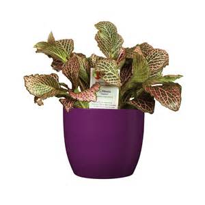 Red Patio Furniture Walmart by Shop Exotic Angel Plants 20 Oz Fittonia In Planter