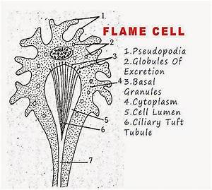 What Are Flame Cells