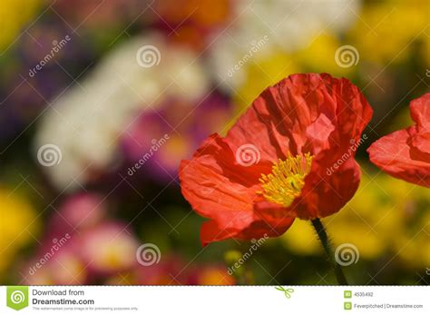 poppy bloom time red iceland poppy bloom stock photography image 4535492
