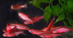 Red Zebra Danio Glo-Fish(glow in the dark) - Product View