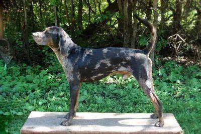 catahoula leopard dog dog breed information american