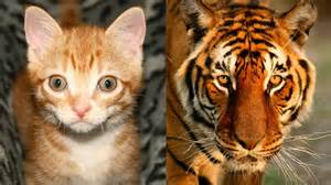 domestic cat are domestic cats like tigers