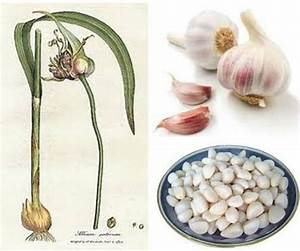 garlic for dogs health benefits m=1