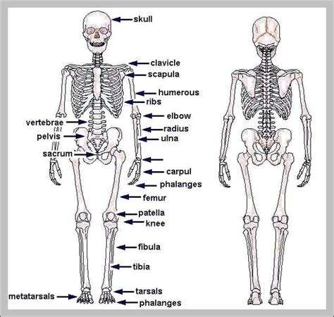 Human Diagram Unlabeled by Human Skeleton Anatomy Graph Diagram