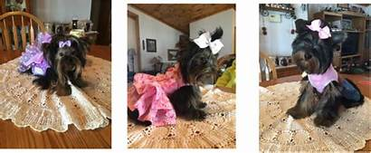 Pam Puppies Priceless Welcome Tzu Shih Maltese
