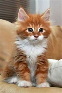 1000+ images about Ginger kittens...cats on Pinterest ...