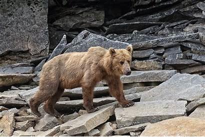Bear Walking Animated Brown Park Hard Rocks