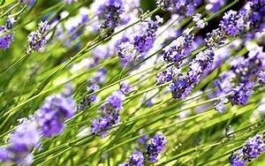 Wann Wird Lavendel Geschnitten : lavendel schneiden anleitung f r den r ckschnitt ~ Lizthompson.info Haus und Dekorationen