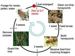 Bee Life Cycle Chart