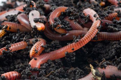 worms composting wigglers wiggler worm gardeners