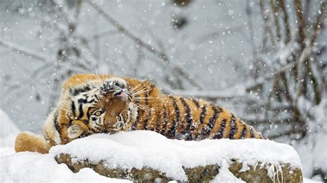Animals In Snow Wallpaper - wallpaper tiger animals snow winter 4k animals