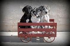great dane bullmastiff mix the daniff breeder great danes and mastiffs afghan hound