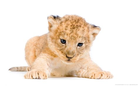 Lion Cub Google Search Lions Sheep
