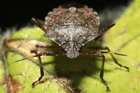 finally  good news  stink bugs wtop