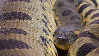 Anaconda Murinus Eunectes Wallpapers Common Desktop Pixelstalk
