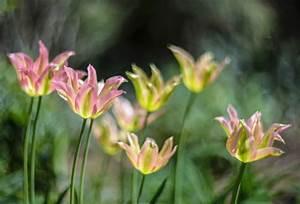 Tulpen Im Glas Ohne Erde : tulpen im mai diese sorten bl hen sp t ~ Frokenaadalensverden.com Haus und Dekorationen
