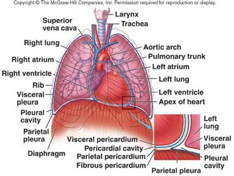 anatomy  diaphragm muscle google search thoracic