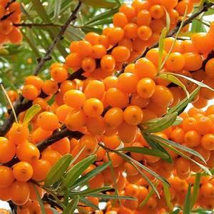 Online Pflanzen Kaufen : winterfrucht 39 oranje power 39 weibliche pflanze online kaufen bei ahrens sieberz ~ Watch28wear.com Haus und Dekorationen