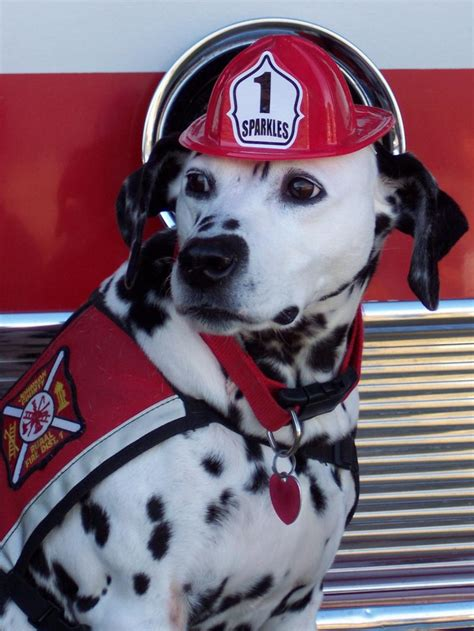 dalmatians  fire fighting    tradition