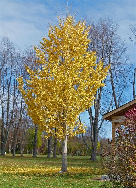 ginco trees golden ginkgo trees creasey mahan nature preserve