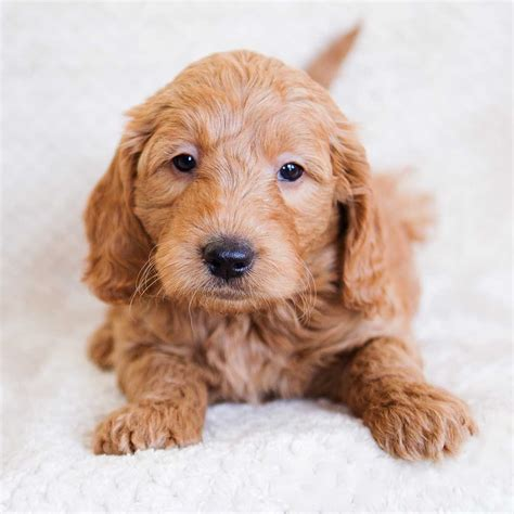 Dogs For Sale Puppies For Sale Terrific Pets Autos Post