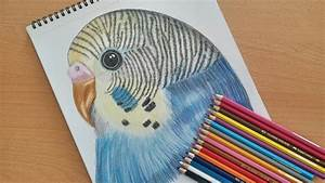How To Draw A Budgie  Speed Drawing  Colored Drawing