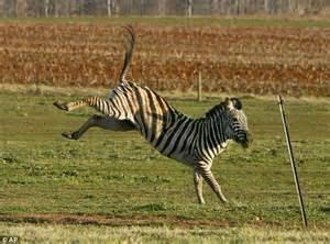 zebra horse horses zebras joey law exotic animals keeps equestrian trainer stripe teenage named talk pet meet different inman permits