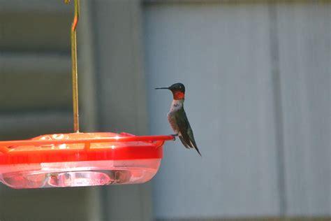 Bedford Audubon Society Ruby Throated Hummingbird