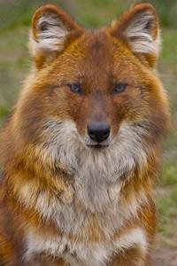 """Dhole"" by James Selwood (Indian Wild Dog). I LOVE the way ..."