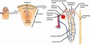 Human Osmoregulatory And Excretory Systems
