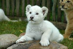 Baby Lion Cubs - Hot Girls Wallpaper