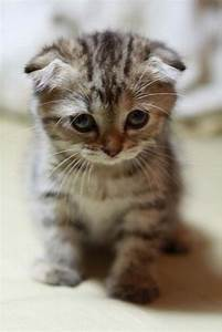 Cute Little Scottish Fold Kitten Sitting | Cute Kittens ...