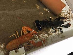 Rare Lobster Saved From The Stove – DeeperBlue.com