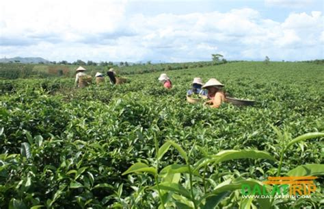 TEA AND COFFEE TOUR IN DALAT VIETNAM