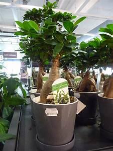 Grande Plante D Intérieur Facile D Entretien : ficus paris c t jardin ~ Premium-room.com Idées de Décoration