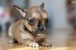 Why do Chihuahuas and other small dogs shiver ? | Pets4Homes
