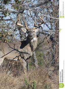 Big Typical Whitetail Buck In Vertical Picture Stock Photo ...