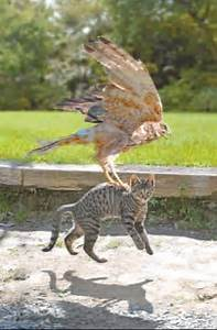 Hawks vs. cats