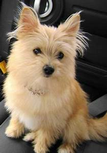 Silky terrier, Pomeranians and Terriers on Pinterest
