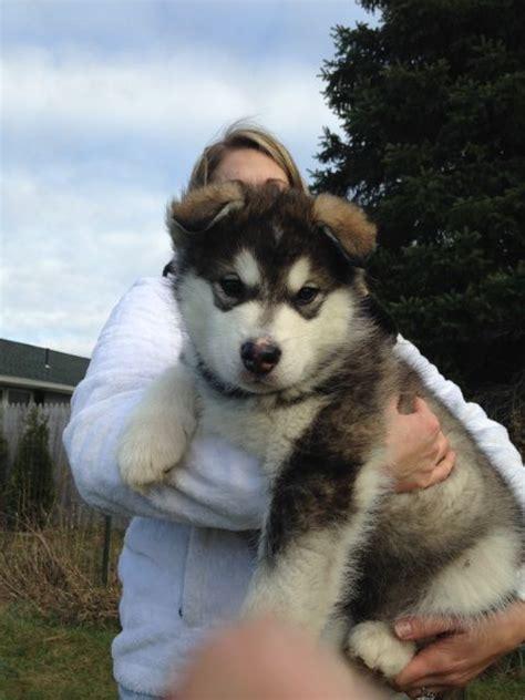 Best 20 Giant Alaskan Malamute Ideas On Pinterest Giant