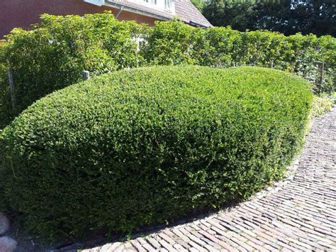 Ilex Green by Ilex Crenata Green Hedge Outdoor L Beplanting De 5