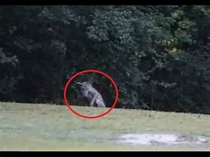 Top 10 Chupacabra Sightings with Pictures Proved It is ...