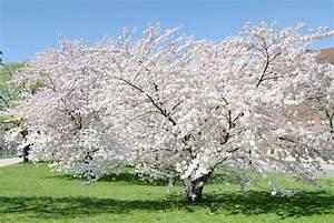 Walnussbaum Selber Pflanzen : kirschbaum pflanzen kirschbaum pflanzen tipps garten ~ Michelbontemps.com Haus und Dekorationen