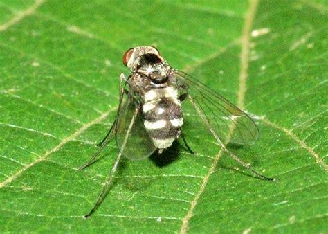 Black Snipe Fly - Chrysopilus basifasciatus