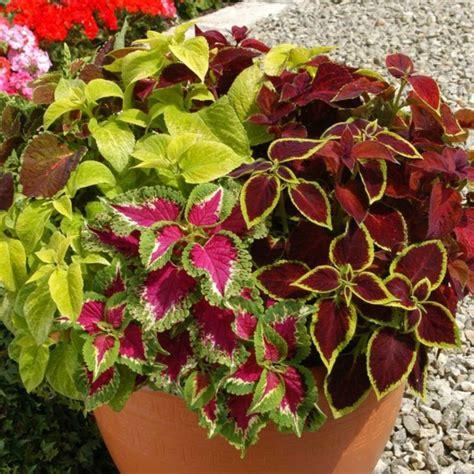 Zimmerpflanze Rot Grüne Blätter by Zimmerpflanze Mit Bunten Bl 228 Ttern Statt Bl 252 Ten Die