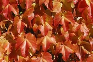 fall color Boston Ivy | Dirt Simple  Fall