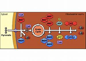 Ms  Doering U0026 39 S Bioblog  Aerobic Respiration  2nd Step  The Krebs Cycle
