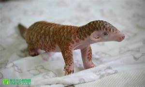 Tiny Newborn Pangolin Gets Fed, Bathed and Cuddled at the ...
