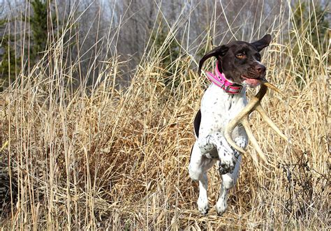 German Shorthaired Pointer Shedding by Shed Photograph By Brook Burling