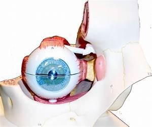 Eye Anatomy Model Unlabeled